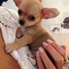 I nostri cuccioli di Chihuahua a Milano in cerca della mamy o del papy: ecco Lorenzino!