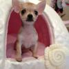 I nostri cuccioli di Chihuahua a Milano in cerca della mamy: ecco Matilda!