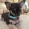 I nostri cuccioli di Chihuahua a Milano in cerca della mamy: ecco Mimmo!