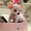 I nostri cuccioli di Chihuahua a Milano in cerca della mamy: Ecco Pierino!