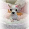 I nostri cuccioli di Chihuahua a Milano in cerca della mamy: ecco Gioia!