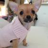 I nostri cuccioli di Chihuahua a Milano in cerca della mamy: ecco Priscilla!
