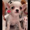 I nostri cuccioli di Chihuahua: ecco Paciocchino!