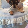 I nostri cuccioli di Chihuahua a Milano in cerca della mamy: ecco Rino!