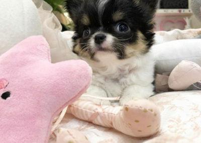 Cuccioli Pomeriania e Chihuahua Milano